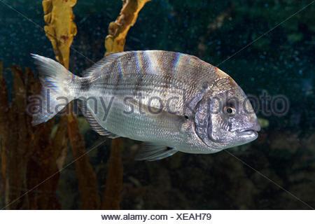 White seabream, White sea bream, White bream, Sargo (Diplodus sargus), swimming - Stock Photo
