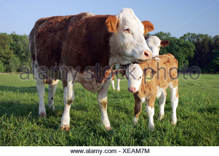 A calf looking for shelter with its mother, Graditz, Germany - Stock Photo