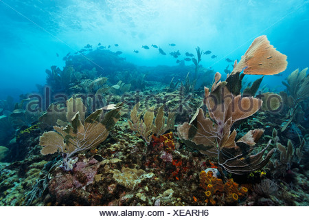 Coral reef in strong waves and currents, Venus sea fan (Gorgonia flabellum), shoal of fish, Bermuda-rudder fish (Kyphosus - Stock Photo