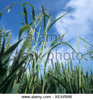 Wild oats Avena fatua annual arable grass weeds flowering panicles in a wheat crop in ear - Stock Photo