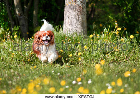 Cavalier King Charles Spaniel (Canis lupus f. familiaris), running over a flower meadow - Stock Photo