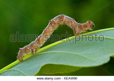 Pale brindled beauty (Apocheima pilosaria, Phigalia pilosaria), caterpillar creeps on a leaf, Germany - Stock Photo