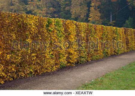 Hedge made of beech trees (Fagus sylvatica) with autumn foliage, Harz, Quedlinburg, Saxony-Anhalt, Germany - Stock Photo