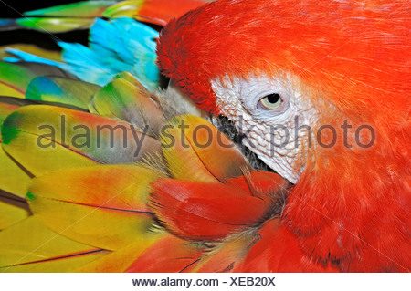 Scarlet Macaw (Ara macao), native to South America, in captivity, Netherlands, Europe - Stock Photo