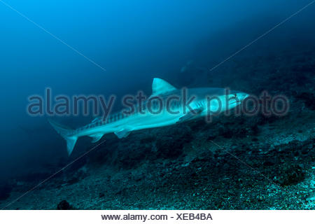 Tiger Shark, Galeocerdo cuvier, Cocos Island, Costa Rica - Stock Photo