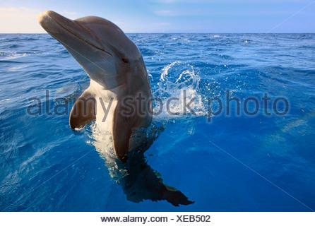 Common Bottlenose Dolphin (Tursiops truncatus), captive, Roatán, Bay Islands Department, Honduras - Stock Photo