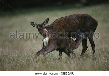 Red Deer / Rothirsch - Stock Photo