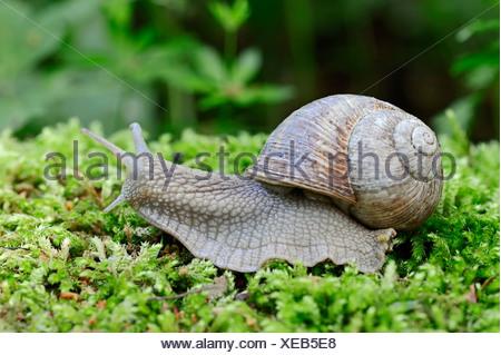 Burgundy snail, Roman snail, edible snail or escargot, (Helix pomatia), North Rhine-Westphalia, Germany - Stock Photo