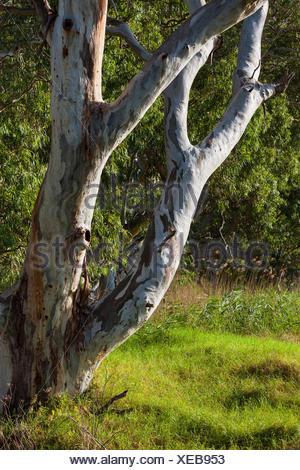Strathalbyn, Australia, south Australia, eucalyptus - Stock Photo
