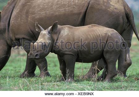 White Rhinoceros, ceratotherium simum, Female with Calf, South Africa - Stock Photo