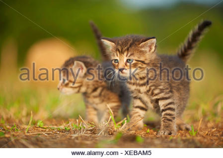 domestic cat, house cat (Felis silvestris f. catus), kitten with one sibling in a meadow, Germany - Stock Photo