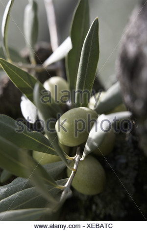 Olives on the tree - Stock Photo