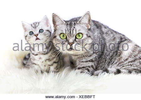 Mother silver tabby cat with young kitten - Stock Photo