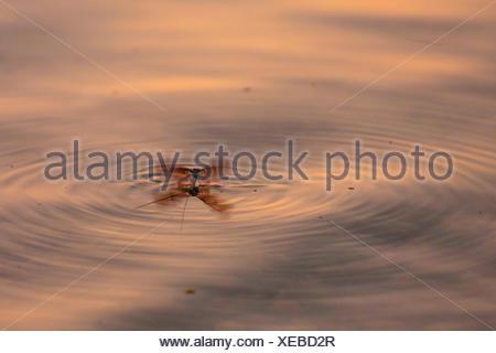 Gemeine Eintagsfliege, Braune Maifliege (Ephemera vulgata), von Wasseroberflaeche startend, Deutschland, Bayern, Chiemsee | Comm - Stock Photo