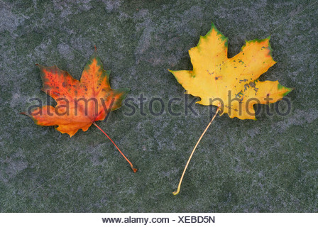 Autumn leaves, two colourful maple leaves laying on slate - Stock Photo