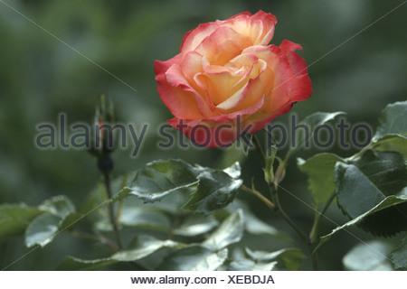 ornamental rose (Rosa 'Bonanza', Rosa Bonanza), flowers - Stock Photo