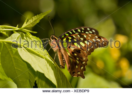 Tailed Jay butterfly (Graphium agamemnon) perching on a leaf - Stock Photo
