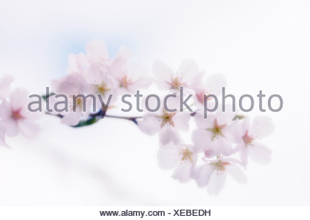 Prunus, Cherry, Pink flower blossom on a branch against a white background. - Stock Photo