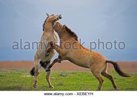 Przewalskis Horse, Mongolian Wild Horse (Equus ferus przewalskii) Stallions fighting Lake Neusiedl Austria - Stock Photo