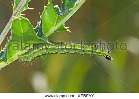 Silver Y (Autographa gamma), caterpillar imitates sprout, Germany - Stock Photo