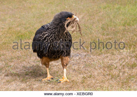 A striated caracara, Phalcoboenus australis, collecting ropes from a door mat to build its nest. - Stock Photo
