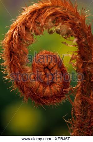 Pteridium aquilinum, Bracken, Fern leaf unfurling, Brown subject, - Stock Photo