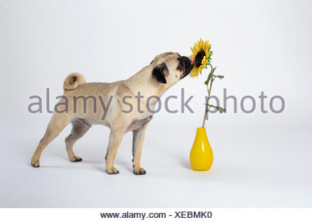 Pug (Canis lupus f. familiaris), licking at an artificial sunflower in a vase - Stock Photo