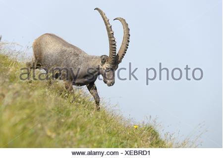 Alpine ibex, steinbock, Capra ibex, Switzerland, Bernese Oberland, summer, - Stock Photo