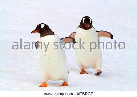 gentoo penguin (Pygoscelis papua), two gentoo penguin walking in snow, Antarctica, Falkland Islands - Stock Photo