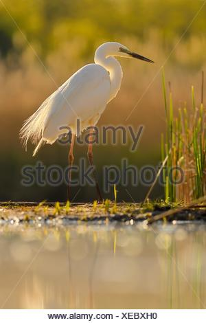 Great egret (Ardea alba), stands at the edge of the reed, National Park Kiskunsag, Hungary Stock Photo