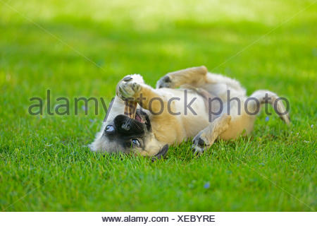Pug (Canis lupus f. familiaris), puppy lying on the back in a meadow and chewing a dog chew bone, Germany - Stock Photo