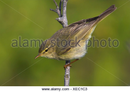 willow warbler (Phylloscopus trochilus), on twig, Germany, Schleswig-Holstein - Stock Photo