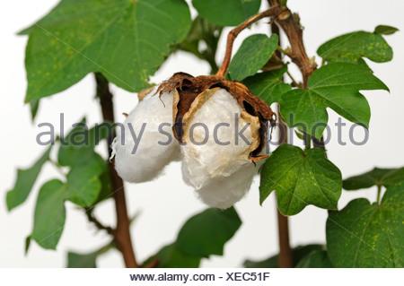 Ripe fruit capsules of the cotton plant (Gossypium herbaceum) - Stock Photo