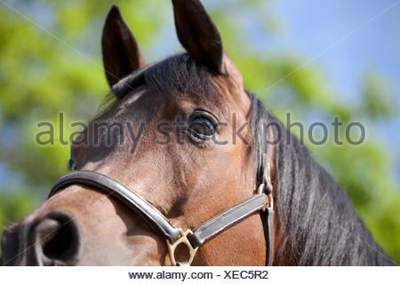 An Arabian horse, cropped - Stock Photo
