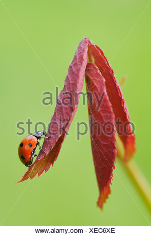 Germany, Bavaria, Franconia, Seven spot lady bird perching on leaf, close up - Stock Photo