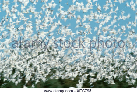 Little Corellas, Kinchega national park, Australia / (Cacatua sanguinea) - Stock Photo