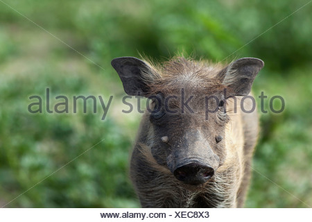 Warthog (Phacochoerus africanus) piglet, Chobe National Park, Botswana - Stock Photo