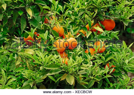 Orange (Citrus sinensis), fruit on the tree, Provence, Southern France, France, Europe - Stock Photo