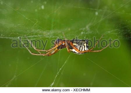 Baldachinspinne, Baldachin-Spinne, Frontinellina frutetorum (Frontinellina frutetorum, Frontinella frutetorum, Linyphia frutetor - Stock Photo