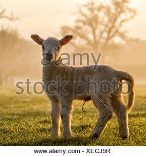 Portrait of a lamb - Stock Photo