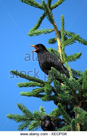 Blackbird, male, Rhineland-Palatinate, Germany / (Turdus merula) - Stock Photo