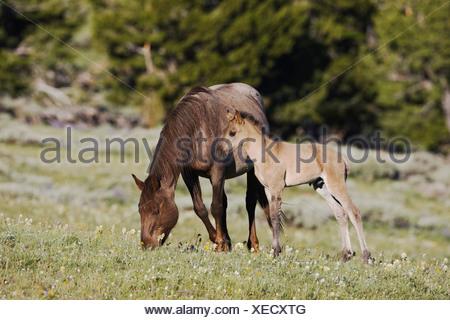 Mustang Horse Equus caballus mare and colt Pryor Mountain Wild Horse Range Montana USA - Stock Photo