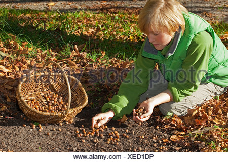 Common hazel (Corylus avellana), boy kneeing and collecting mature nuts in a basket, Germany - Stock Photo