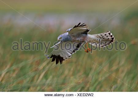 Cinereous Harrier (Circus cinereus). Adult male bird in flight. El Calafate, Patagonia, Argentina - Stock Photo