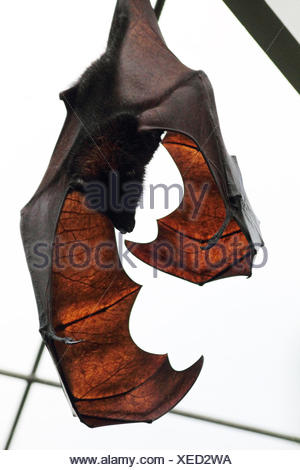 The Indian flying fox, Pteropus giganteus. - Stock Photo