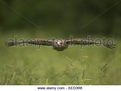 Common Buzzard (Buteo buteo) in flight. Gloustershire. UK - Stock Photo
