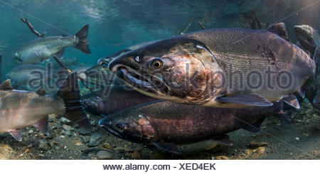 Ocean bright Coho Salmon (Oncorhynchus kisutch) on their spawning migration in an underwater view in an Alaskan stream during autumn. - Stock Photo