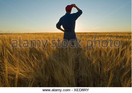 Farmer looks out over his mature harvest ready barley crop, near Carey, Manitoba, Canada - Stock Photo
