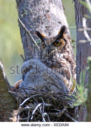 great horned owl (Bubo virginianus), female with a fledgling in the nest, USA, Florida, Everglades National Park - Stock Photo