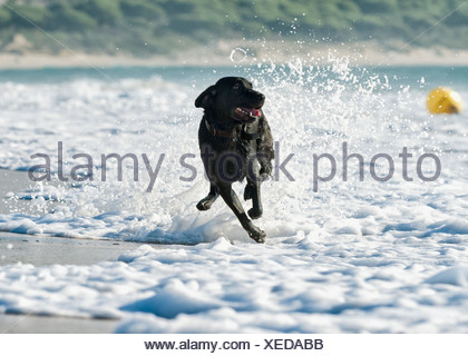 A Dog Running In The Tide Along A Beach To Fetch A Ball; Tarifa, Cadiz, Andalusia, Spain - Stock Photo